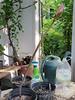 Amaryllis belladonna #4.