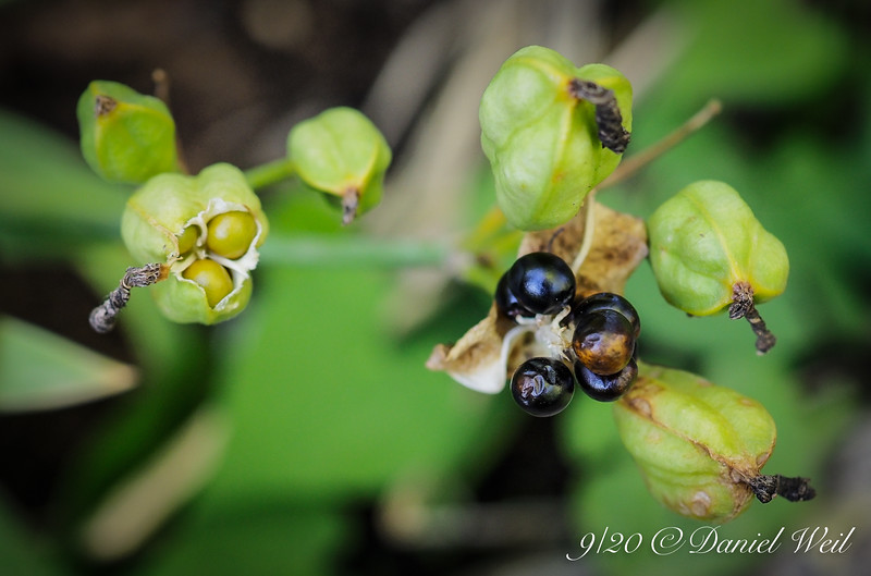 Pardancanda seed pods