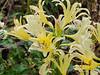Light gold Lycoris ex B.D., by large pergola