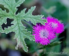 Jim, the idiot, saw this Dianthus out of the corner of his eye and thought it was a geranium.