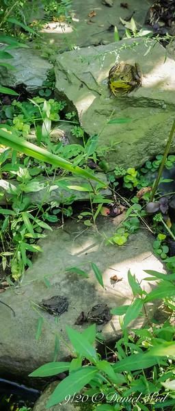 Three frogs in this one.  And counting...