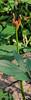 Again, unknown radiata-type Lycoris, Hesperides terraces