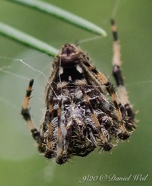 Another spider, not white backed, striped hairy legs, on deodar & web.