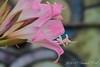 Pink Amaryllis belladonna with white throat