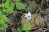 White flowered Cyclamen hederifolium, woo hoo!