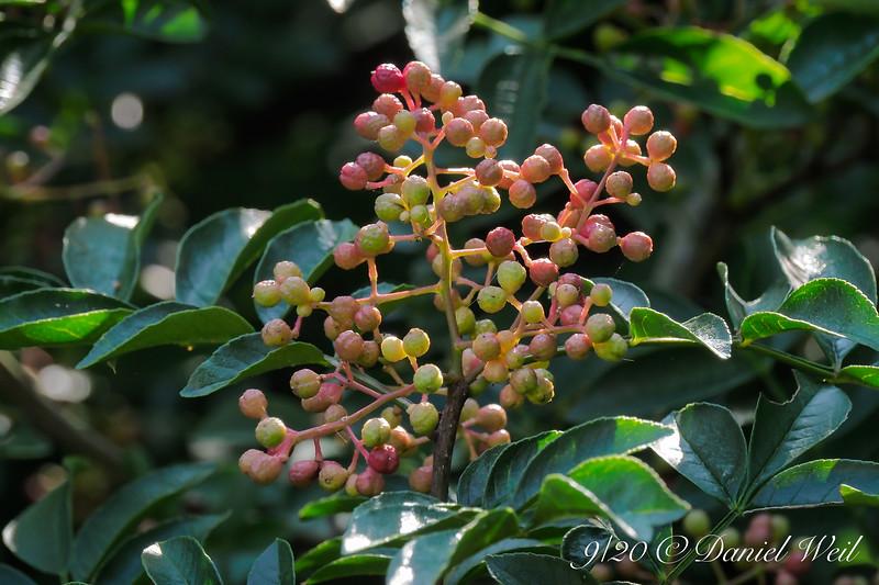 Prickly ash/toothache tree/ Zanthoxylum americanum fruits turning.