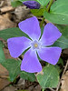 Vinca major on driveway edge.  Useful.  4/20