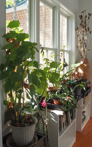 Library link, houseplants, mostly begonias