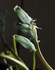 Lachenalia viridis ex G. G.