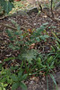 Stray ground level branch of Mahonia bealei, E of small arbor, with helleborus, sternbergia (thinnest leaves) and Madonna lily foliage