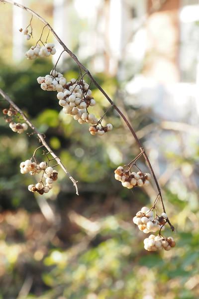 White beautyberry, frostbitten....