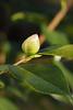 Camellia bud outside Dan's studio.