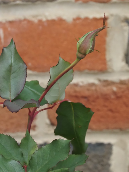We're rooting for this little rosebud yet to open......Courtyard