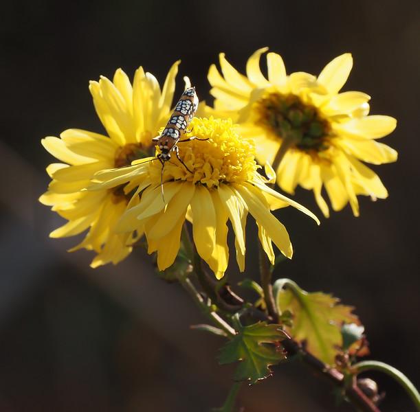 Ailanthus webworm moth (Atteva aurea).  The caterpillars eat ailanthus.  Our BFF.