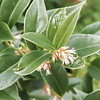Sarcococca confusa, usually Jan 1 blooming.... Courtyard