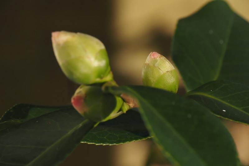 Camellia buds E of dining room