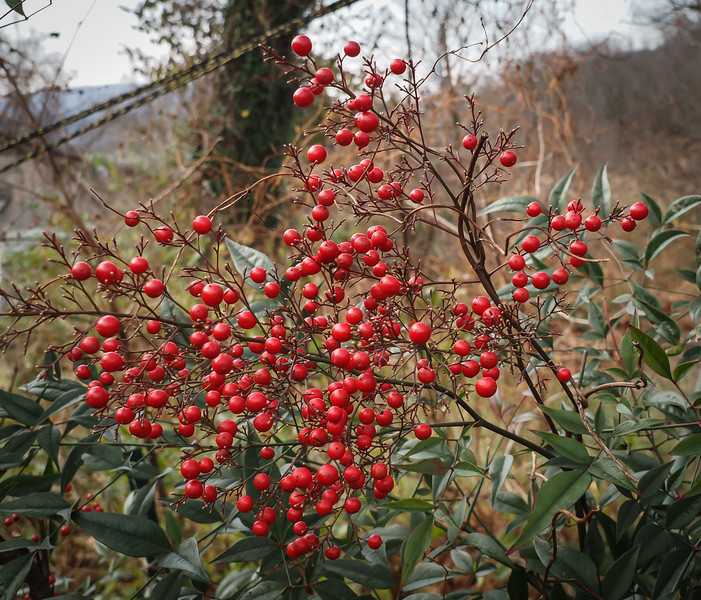 """Nandina berries, W side of courtyard.  Picture doesn't show but it's above a dwarf box and a clouded form of Italian arum.  """"texture"""" for years....."""
