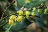 Mahonia bealei something like two months early, s/bloom in Feb