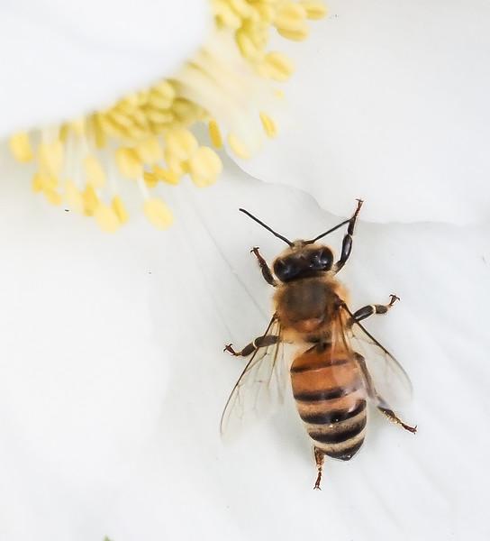 Honeybee on helleborus niger hyb, N walk
