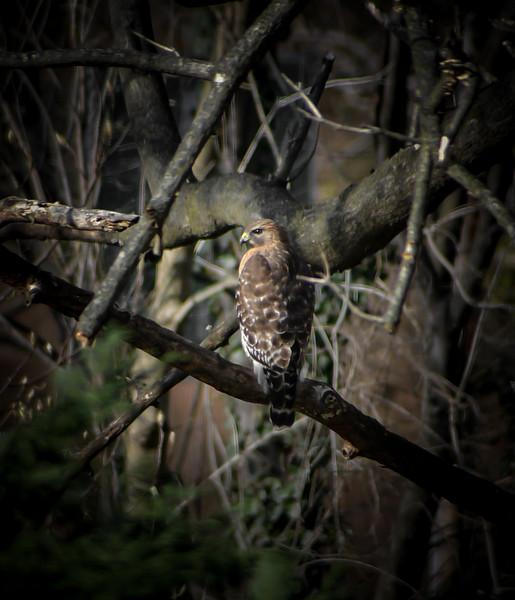 And a partridge in.... er... a hawk in a Paulownia.