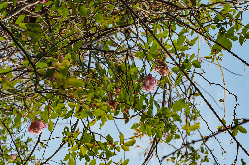 And the roses 25 feet up the Edith Bogue magnolia , 12/12/20