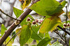 Chimonanthus, prob. by library link