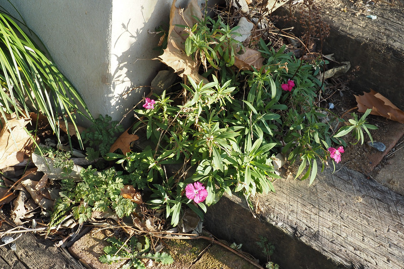And a stray annual dianthus @ the foot of the library stairs.
