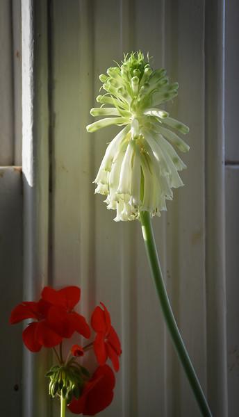 Geranium and Velthemia, Dan's window