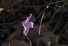 A zalea out of season.  Usually zaleas are spring flowers.