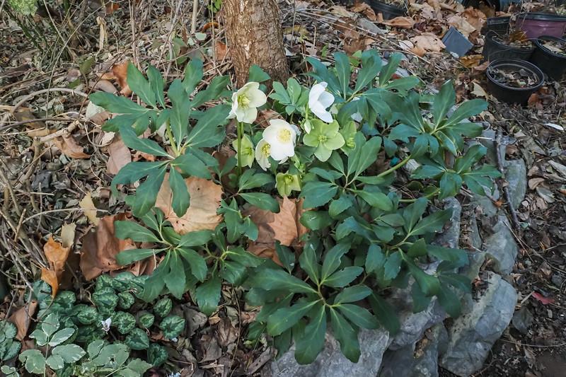 Helleborus niger hyb on N walk, also variegated Aegopodium still hanging on, last Cyclamen hed. flower, 12/9/20