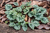 Cycamen hed. leaves and weed Corydalis.