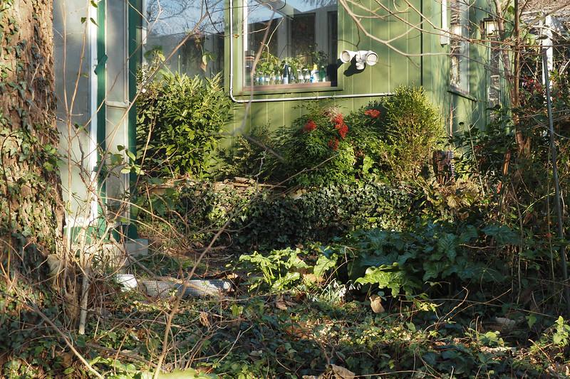 L, chickenhouse, R greenhouse.  Arums, Aucuba, Nandina, box, ivy,  weeds.