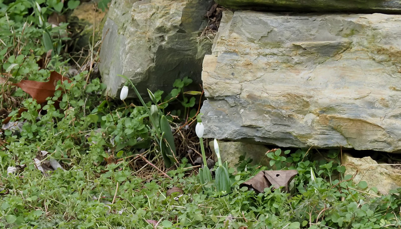 Everywhere the January snowdrops are blooming, 12/10/20