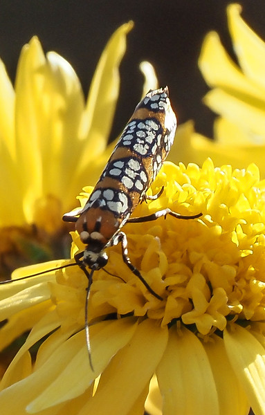 Ailanthus webworm moth (Atteva aurea).  It IS a moth, but when not in flight it folds its wings around its body.  The epidome of the well dressed insect.
