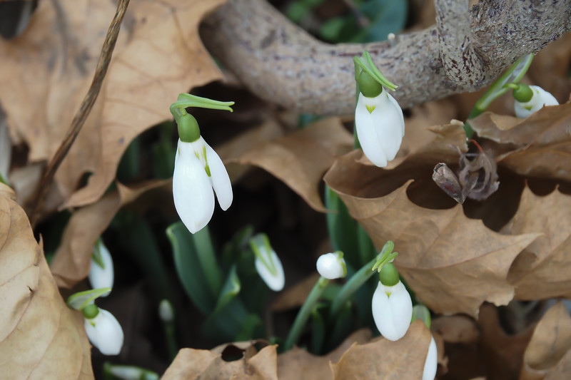 January snowdrops by large arbor