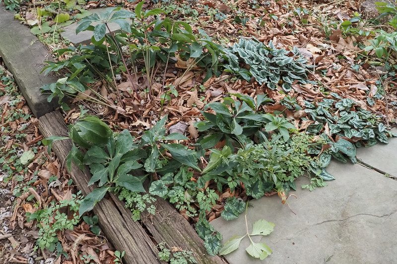 Walk between north lane and Shade Room.  Lovely Cyclamen hed. from GG, hellebores, Sarcococca hookeri v. humilis