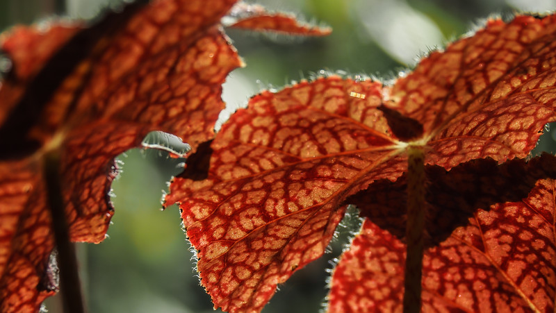 Closeup of begonia (ex Thornton???), library link