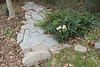 Stone path in Crater, Helleborus niger hyb ex Wegman's, holly fern, Rohdea.
