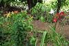 Daylilies ex Mary Ann F, highway bed. Foreground, Cornus fl. ssp. urbiniana