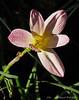 Rain lily ex John B