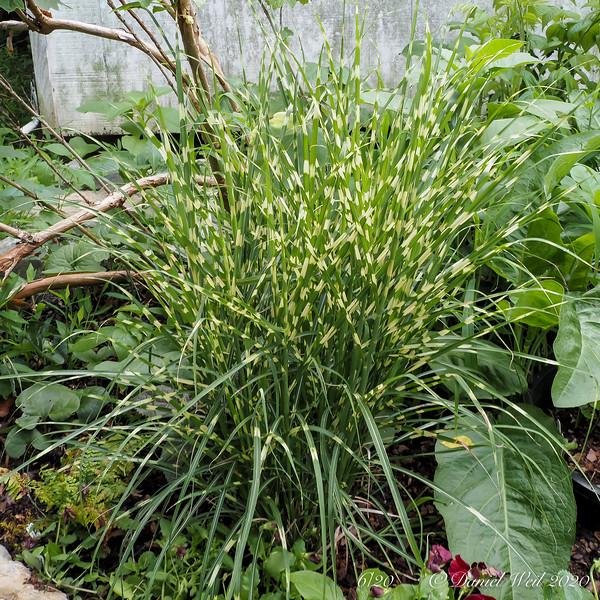 Miscanthus zebrinus cv. NW of Dan's studio