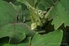 Solanum quitoense buds
