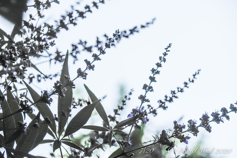 Vitex agnus-castis, all the blooms are 15 feet up....