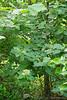 Hydrangea ex Martha O. , SW corner of N Forty bed