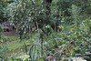 Clethra barbinervis, trumpet lily, daylilies, Hesperides terraces