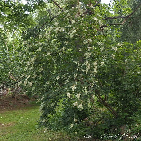 Clethra barbinervis, by Paulownia, Hesperides