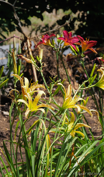 Daylilies ex Mary Ann F, highway bed