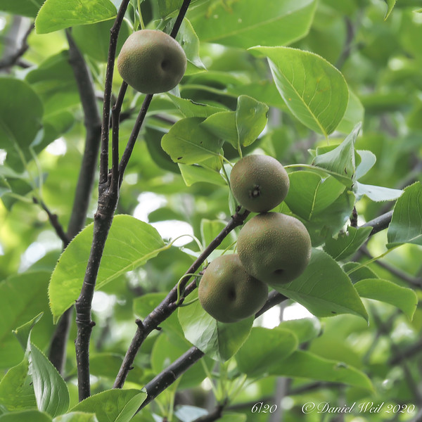 Asian pear, SW corner of Back Forty