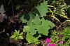 Solanum quitoense, petunia, touchmenot, elaeagnus, highway bed