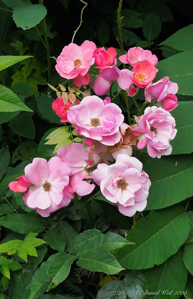 Rose by grinder pump